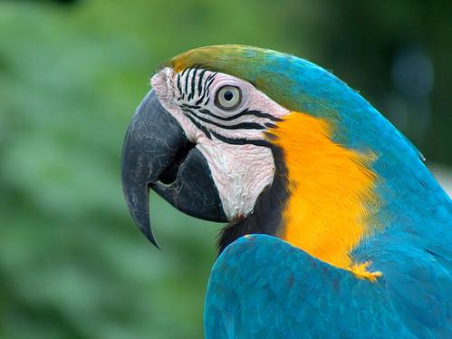 8zi-Blue Macaw
