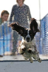 Rupert (Steve Collins Photography (momofoto)) Tags: nikon action farm whitbread dash spaniel springer hop d200 splash rupert dashnsplash momofoto myphpflickr phpgallery