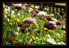 A Blast Of Colour (stev1eb) Tags: plants flower colour garden scotland flora glasgow victorian flowerbed soe shieldofexcellence impressedbeauty