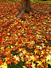 A Yard Full of Yellow, a Moonjazz Photo Poem (moonjazz) Tags: life autumn color tree fall nature yellow yard wonderful death leaf poem decay ground scatter domestic creation pile cycle trunk soe crunchy verse abigfave