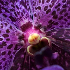 In Space no one can hear you scream (photocillin) Tags: portrait flower face saturated purple tube scream extension shout pps 500x500 macrolicious fantasticflower hpps perfectpurplesaturday