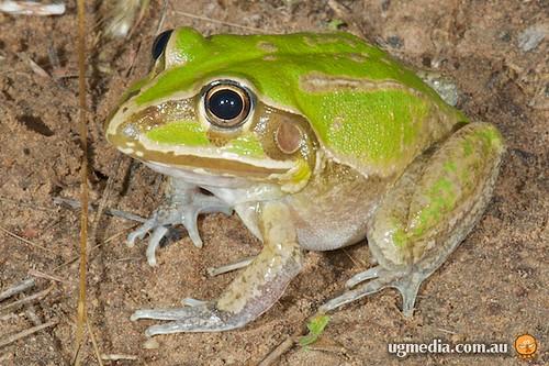 Giant frog (Cyclorana australis)