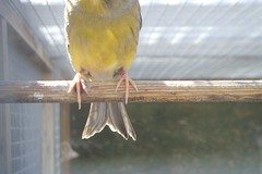 Bottom Half. (highwaycharlie) Tags: brown bird feet yellow digital photography grey tail bottom half canary domesticated