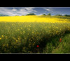 The Colour Of Hayfever (Manin The Moon) Tags: summer england hot english beautiful beauty field sunshine yellow season relax landscape warm mood peace emotion britain farm horizon sunny birdsong calm serenity poppy oil british serene breeze chill rapeseed vanagram updatecollection ucreleased