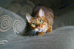3-52 Sumi (Tigeressts) Tags: orange cute cat feline stripes whiskers couch pounce toyger 52weeksforcats