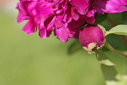 peonies purple