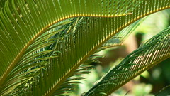 Palma Sag (dinesh_valke) Tags: flora cycas cycadaceae tender tropicals perennials sagopalm sagocycas cycasrevoluta sotetsu cycadfamily sagocycad sutie cycasmiquelii varbrevifrons varplanifolia varprolifera varrobusta japanesesagopalm kingsago kingsagopalm tieshu cicasrevoluta cycasdujapon cycassagoutier palmaasag palmasag saagopalmu sagopalme sagovaiapalma sagovnikponikaiushchii sagovnikponikshii sagutero socheol tsikasponikaiushchii