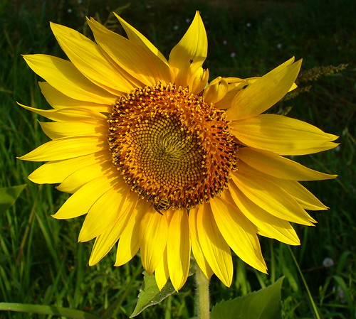 Girasole - immagine tratta dal web (by Pizzodisevo - Flickr)