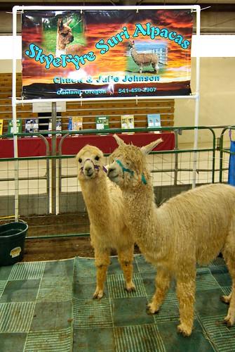 Llamas_1