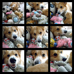 her toy collection (komehachi888) Tags: dog corgi dailysnap pitan gx100