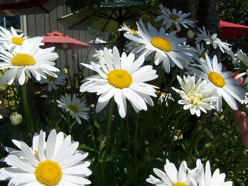 Happy Satur-Daisy!