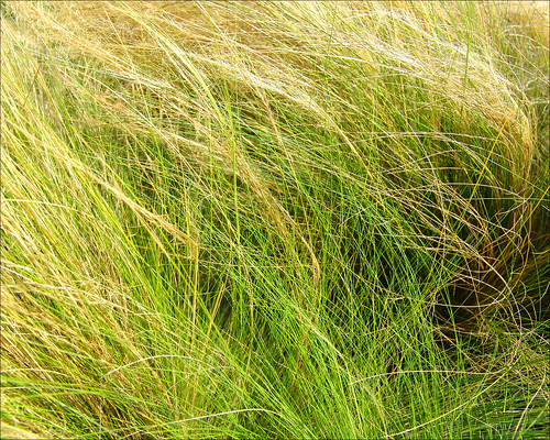 Windswept Grass At Dani's