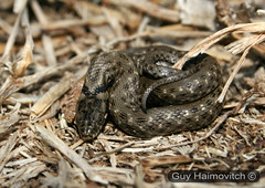 Dice Snake Hatchling (Natrix tessellata) נחש מים משובץ