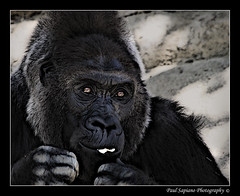 The Saddest Eyes (peasap) Tags: california ca summer fab black paul photography zoo eyes sad sandiego gorilla picture august ape wildanimalpark primate escondido naturesfinest draganizer specanimal impressedbeauty excellentphotographerawards sapiana