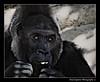 The Saddest Eyes (peasap) Tags: california ca summer fab black paul photography zoo eyes sad sandiego gorilla picture august ape wildanimalpark primate escondido naturesfinest draganizer specanimal impressedbeauty excellentphotographerawards sapiana