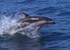 Pacific White-Sided Dolphin (csnyder103) Tags: california dolphin montereybay explore marinemammal pacificwhitesideddolphin naturesfinest canon70200f28l animalkingdomelite holidaysvacanzeurlaub
