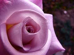 rose in pink (Brian A Petersen) Tags: california pink flower macro nature beauty rose brian petal creation delicate petersen top20flowers anawesomeshot bpbp brianpetersen brianapetersen