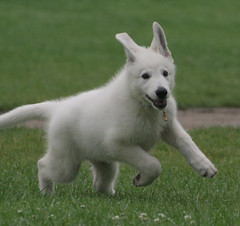 Salo (Danique) Tags: dog puppy salo witteherder