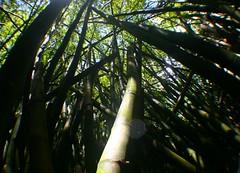 Bamboo Bamboo Bamboo (bozy10) Tags: hawaii bamboo valley waipio