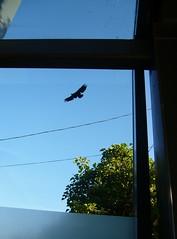 Newly freed eagle (liquidnight) Tags: seattle streetart bird eagle stickers decal communityart ephemeralart windowzoo