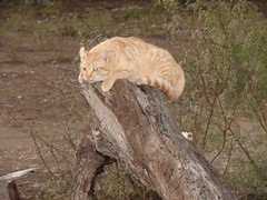 Texas Ranch Kitty on Mesquite stump! (Texas to Mexico) Tags: ranch orange cat furry feline texas tabby kitty mesquite lonestarstate knippa smalltowntexas uvaldecounty smalltexastown