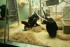 Schimpansefamilie / Chimp family