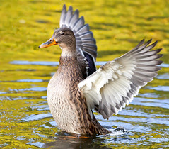 Look at me!! (Steve-h) Tags: ireland dublin nature duck pond action wildlife details feather mallard allrightsreserved walkingonwater steveh specanimal animalkingdomelite canoneos5dmarkii mygearandmepremium mygearandmebronze mygearandmesilver mygearandmegold mygearandmeplatinum mygearandmediamond canonef70200mmf28lisiiusm ringexcellence dblringexcellence tplringexcellence