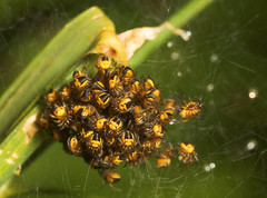 "A mass of tiny Spiderlings(1) • <a style=""font-size:0.8em;"" href=""http://www.flickr.com/photos/57024565@N00/526737117/"" target=""_blank"">View on Flickr</a>"