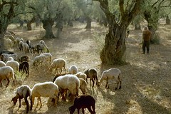 Greece: natural and ancient art everywhere... (hans j. knospe) Tags: grove shepherd olive greece kala nera kato flockofsheep pilion gatzea flickrbestpics