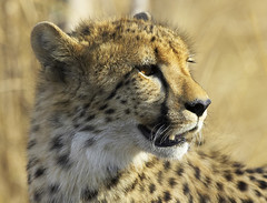 Cheetah Mother (Lyndon Firman) Tags: southafrica cheetah malamala blueribbonwinner excellentphotographerawards