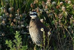 Northern Bobwhite (Colinus virginianus) Quail DSC_0071 (NDomer73) Tags: bird july 2006 best better quail ridgefield northernbobwhite bobwhitequail ridgefieldnationalwildliferefuge 02july2006 ridgefieldnwr