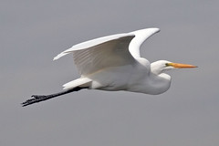 Flew By (flopper) Tags: birds flight sfbayarea egrets greategrets interestingness26 flopper specanimal
