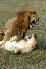 Mating Lions #6 (Madame Knipse) Tags: africa animals kenya lion animalplanet masaimara naturesfinest littlestories 10faves specanimal aplusphoto betterthangood picswithsoul