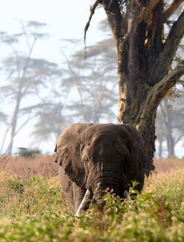 Elephant under the Acacia tree