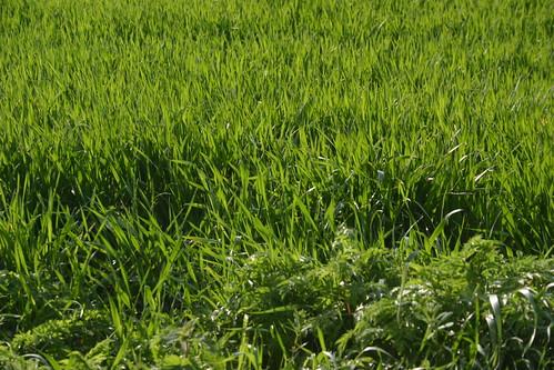 Long Green Grass in a Field