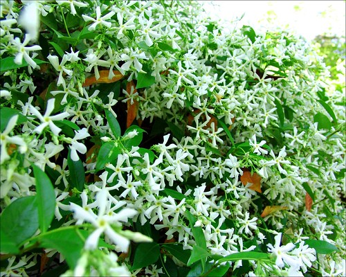 Healthy green star jasmine, via jacquiscloset @ Flickr.