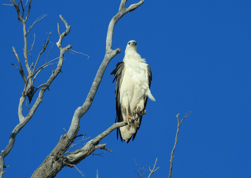Fraser Island White-bellied Sea-eagle 0030.JPG