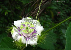 Wild Flower - Amazing! (rohini_kamath) Tags: flowers wild copyright india nature flora bangalore valleyschool closeups rohini kamath ifornature rohinikamath