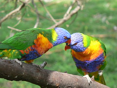 Lovers Whisper Sweet Nothings! (ianmichaelthomas) Tags: lorikeets parrots parrot rainbowlorikeets birds australiannativebirds wildlifeofaustralia poundbend warrandyte victoria australia warrandytestatepark animaladdiction takeabow colourartaward nginationalgeographicbyitalianpeople avianexcellence naturesfinest auselite supershot goldstaraward goldenphotographer animalcraze qualitypixels birdwatcher treeofhonor naturewatcher fpc flickrphotocontests diamondheart friends flickrlovers flickrsbestcreatures vosplusbellesphotos worldofanimals
