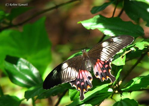Butterfly - Papilio Polytes Romulus female