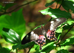 Butterfly - Papilio Polytes Romulus female (rohini_kamath) Tags: copyright india nature butterfly insect backyard village mangalore rohini kamath katpadi ifornature rohinikamath indomalayase palearctice indomalayane indomalayai