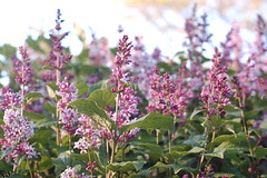 Arnold Arboretum, 15 May 2010: Pink lilac flower shoots (Chris Devers) Tags: flowers trees flower tree boston forest ma spring blossom massachusetts harvard arnold arboretum lilac bloom harvarduniversity bostonma lilacs 2010 arnoldarboretum emeraldnecklace cameranikond50 exif:exposure_bias=0ev exif:exposure=0017sec160 exif:focal_length=50mm exif:aperture=f45 treemuseum camera:make=nikoncorporation exif:flash=offdidnotfire camera:model=nikond50 exif:lens=50mmf18 meta:exif=1274018089 flickrstats:favorites=1 exif:orientation=horizontalnormal exif:filename=dscjpg exif:vari_program=auto exif:shutter_count=43693 meta:exif=1350398410