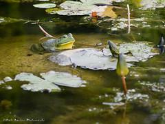 Thats Mr. Bull to you (whatUthinkin) Tags: flower green eye nature water pond bokeh indiana bull frog eyeball elkhart bullfrog goshen newparis defriesgarden dalebarlowphotography