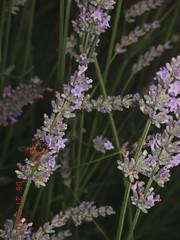 L'ape laboriosa (Casale del Levriero) Tags: estate vacanze casale casavacanze