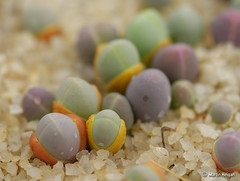 Gibbaeum comptonii seedlings (Martin_Heigan) Tags: camera flower macro nature digital southafrica succulent nikon dof close martin bokeh photograph tiny d200 dslr seedlings suidafrika 60mmf28micro heigan comptonii gibbaeum macrolife wsnbg october2010 mhsetsucculents mhsetbokeh