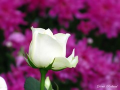 Rose Blanche (Domi Rolland ) Tags: france nature fleur rose canon europe violet blanche bonheur candas tendresse douceur aveyron midipyrnes colorphotoaward