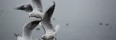 volo (Erucca) Tags: birds fly garda uccelli volo lazise