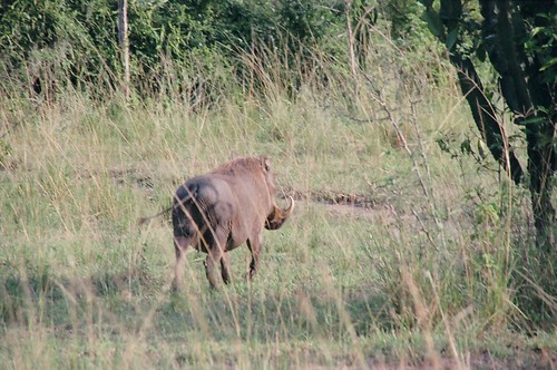 Uganda - QENP Warthog
