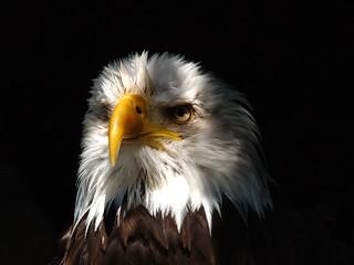 Weißkopf-Seeadler / Bald eagle
