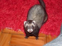 hi :D (o que os olhos vem) Tags: ferrets preta